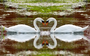 swan-lake-swim-steam-fidelity-reflection-heart